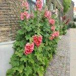 Roses trémières à Nyboder